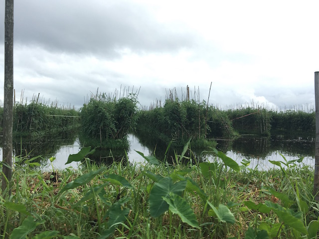 インレー湖のトマト畑