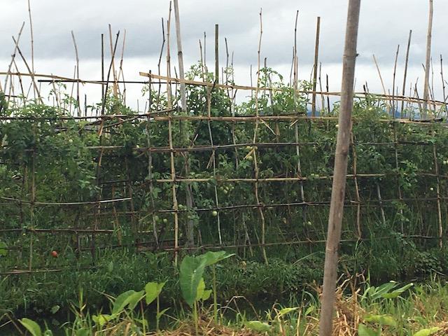 インレー湖で栽培されているトマト