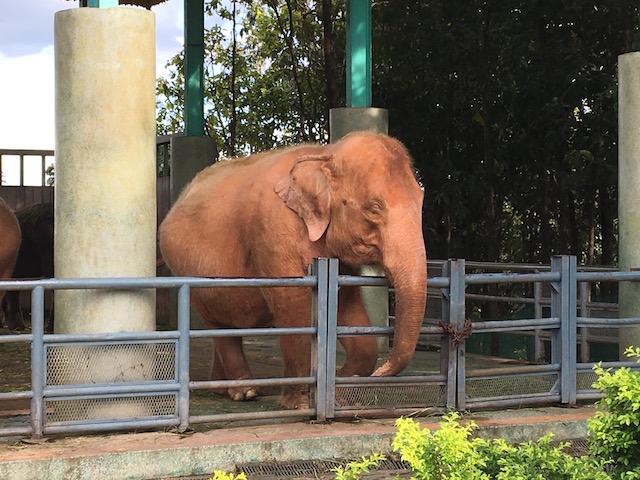 ウッパタサンティ・パヤーの白い象
